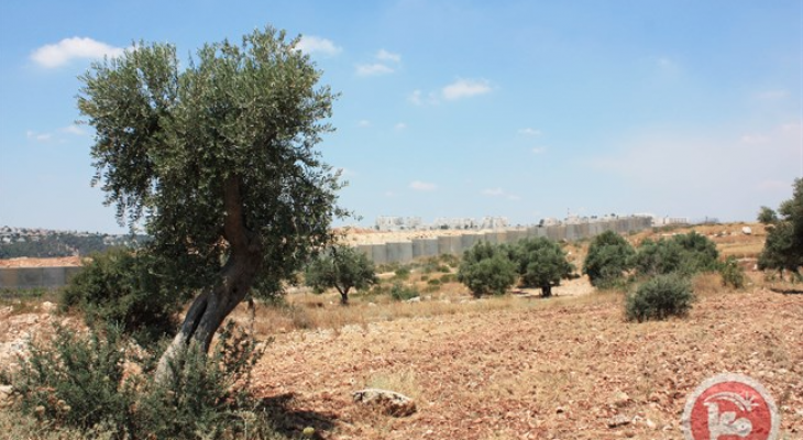 Palestinian farmers accuse Israeli settlers of stealing harvest from 400 olive trees